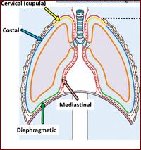 struttura della pleura